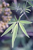 Wild growing hemp