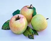 Äpfel der Sorte Morgana mit Blättern