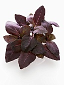 Red basil from above