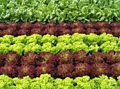 Lettuce field (detail)