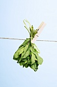Mint drying on a washing line