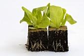 Two lettuce plants