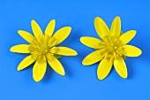 Lesser celandine (flowers)
