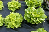 Lollo bionda and romaine lettuce with black plastic mulch