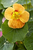 Nasturtium with flower