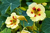 Nasturtium with flowers (variety Strawberry ice)