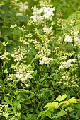 Meadowsweet in the open air