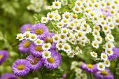 Flowering feverfew