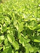 Soya plants (full-frame)