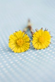 Two coltsfoot flowers on a blue background