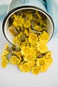 Coltsfoot flowers in an upset pot