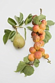 Pear and apricots on branches with leaves