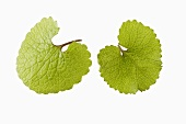 Two garlic mustard leaves
