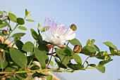 Caper flowers and capers on branch