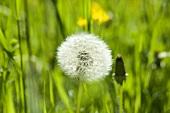 Dandelion clock in grass