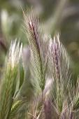 Ears of wheat in the field (detail)