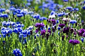 Cornflowers in the field