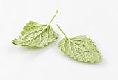 Two lemon balm leaves, face down