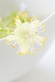 Lindenblüte (Close Up)