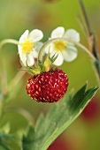 Wild strawberry plant (close-up)