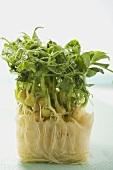 Fresh sprouts (Mizuna)