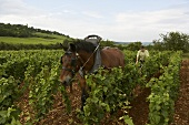 Wine-grower working with horse in vineyard
