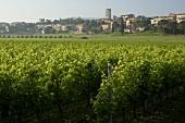 Vines in Torgiano, Umbria