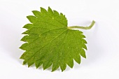 A nettle leaf