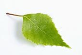 A birch leaf