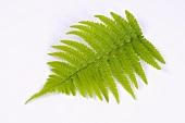 A fern frond