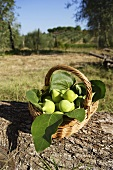 Basket full of fresh figs in Italian landscape