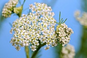 Flowering caraway