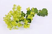 Lady's mantle with flowers