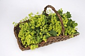 Lady's mantle in a basket