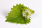 Garlic mustard flowers on a leaf