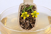 Herb bennet (fresh, dried and flowers) on cup of tea