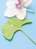 Gingko leaf with drops of water and orchid