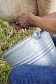 Frau melkt eine Kuh (Close Up)