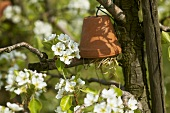 Flowerpot (earwig shelter) on a blossoming cherry tree