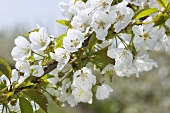 Cherry blossom sprig (sweet cherry)