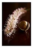 Macadamia flower and a macadamia nut