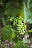 Champagne grapes, Reims, Champagne, France