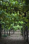 Weinberg vom Weingut Masciarelli, Abruzzo, Italien