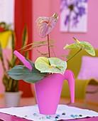 Flamingoblumen und Fensterblatt in rosa Plastikgiesskanne