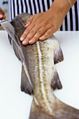 Filleting cod (cutting the fish open along the back)