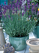 Blühender Lavendel im Topf