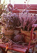 Heather and sage in pots covered in hoar frost in garden