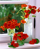 Nasturtiums in bottles and glasses by window