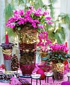Weihnachtskaktus & Alpenveilchen weihnachtlich dekoriert