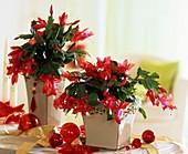 Rotblühende Weihnachtskakteen in Vierecktöpfen